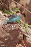 Cordonbleu de l'Angola, Blue Waxbill (Réserve Mkhuze, 13 novembre 2007)