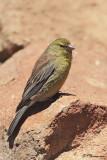 Serin de Symons, Drakensberg Siskin (Lesotho, 9 novembre 2007)