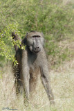 Babouin chacma, Chacma Baboon (Parc Kruger, 18 novembre 2007)