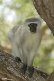 Vervet, Vervet Monkey (Réserve Mkhuze, 14 novembre 2007)