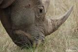 Rhinocéros,  (Parc Kruger, 21 novembre 2007)