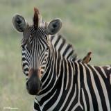 Zèbre des plaines, Burchell's Zebra (Parc Kruger, 19 novembre 2007)