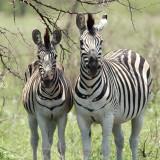 Zèbre des plaines, Burchell's Zebra (Réserve Mkhuze, 15 novembre 2007)