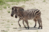 Zèbre des plaines, Burchell's Zebra  (Parc Kruger, 20 novembre 2007)