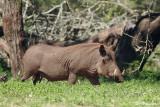 Phacochère commun, Common Warthog (Réserve Mkhuze, 14 novembre 2007)