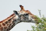 Girafe, Giraffe (Réserve MKhuze, 15 novembre 2007)