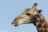 Girafe, Giraffe (Parc Kruger, 19 novembre 2007)