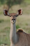 Grand Koudou, Greater Kudu (Parc Kruger, 19 novembre 2007)