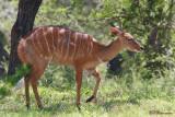 Nyala (Réserve Mkhuze, 14 novembre 2007)