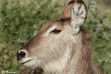 Cobe à croissant, Waterbuck (Parc Kruger, 19 novembre 2007)