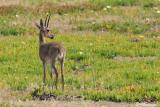 Rhebuk,  Grey Rhebok (Réserve de Hoop, 4 novembre 2007)