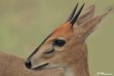 Céphalophe de Grimm, Common Duiker (Parc Kruger, 21 novembre 2007)