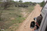 Éléphant d'Afrique, African Elephant (Parc Kruger, 20 novembre 2007)