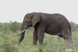 Éléphant d'Afrique, African Elephant  (Parc Kruger, 19 novembre 2007)