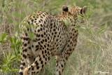 Guépard, Cheetah (Parc Kruger, 21 novembre 2007)