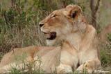 Lion (Parc Kruger, 20 novembre 2007)