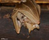 Roussette à épaulettes de Wahlberg, Wahlberg's Epauleted Fruit Bat (Parc Kruger, 18 novembre 2007)