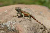 Lézard, Lizard (Lesotho, 9 novembre 2007)