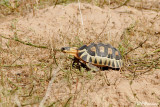 Tortue à soc, Angulate Tortoise (Région de Langebaan, 7 novembre 2007)