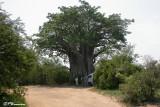 Baobab dans le parc Kruger, 20 novembre 2007
