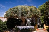 Dragoeiro / Dracaena draco L. (Árvore de Interesse Público)