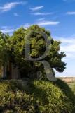Til / Ocotea foetens (Aiton) Baill (Árvore de Interesse Público)