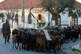 Um Pastor em Louriceira, com o seu fato de cabras (ou rebanho, ou cabrada)