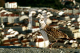 The Cautious Seagull