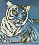 Late 1960's - Princess the White Tigress at Crandon Park Zoo