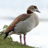 Alopochen aegyptiaca - Ouette d'Egypte - Egyptian Goose