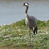 Grus grus - Grue cendrée - Common Crane