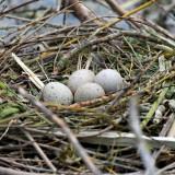 Nid de foulque macroule (fulica atra) - Eurasian Coot nest
