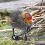 Fulica atra - Foulque macroule (poussin) - Eurasian coot (chick)