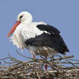 Ciconia ciconia - Cigogne blanche - White Stork