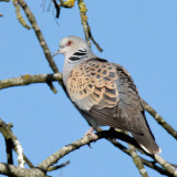 Streptopelia turtur - Tourterelle des bois - Turtle Dove