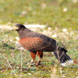 Parabuteo unicinctus - Buse de Harris - Harris's Hawk