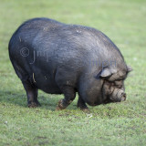 Cochon vietnamien - sus scrofa domestica - vietnamese pig