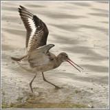 Limicoles / Waders and Shorebirds