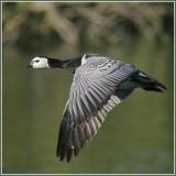 Branta leucopsis - Bernache nonnette - Barnacle Goose