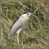 Nycticorax nycticorax - Bihoreau gris - Black-crowned Night Heron