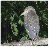 Nycticorax nycticorax (juvénile)