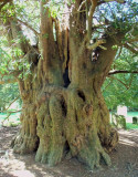 600 YEAR-OLD YEW'S TRUNK