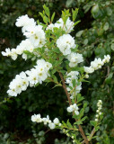 WHITE SHRUB