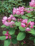 SMALL RHODODENDRONS
