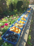 PUMPKINS & SQUASHES FOR SALE