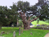 THE ANCIENT YEW . 1