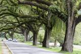 Taiping raintrees.