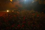 Foggy Night Roses