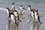 Gentoos returning from sea.jpg