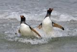 Gentoos splashing.jpg